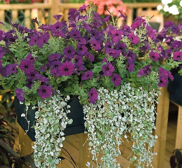 красивые ампельные цветы