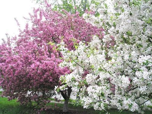 цветение яблонь