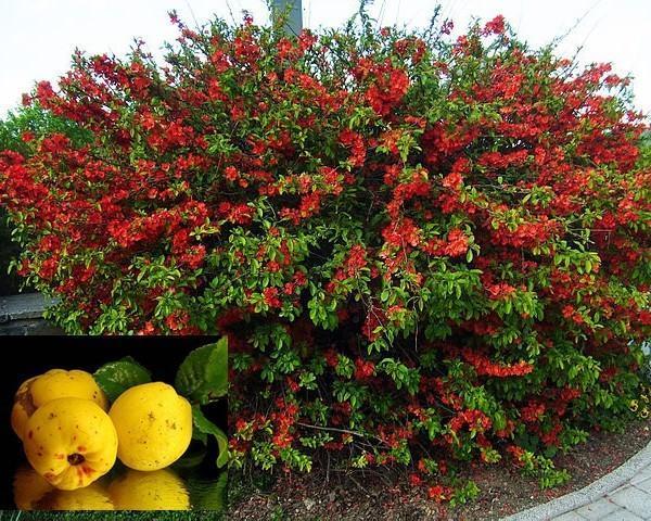цветение японской айвы и плоды
