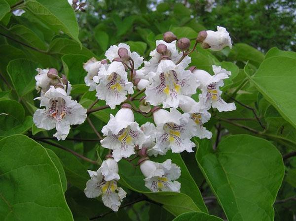 цветет катальпа
