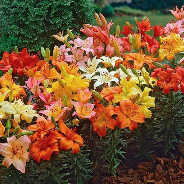 палитра цветов лилий