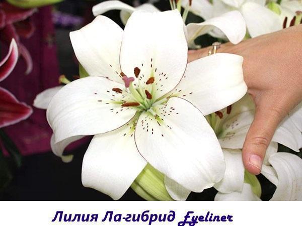 Лилия ЛА-гибрид Eyeliner