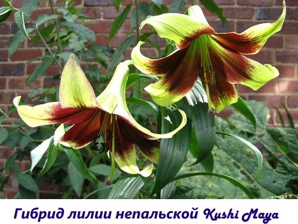 Гибрид лилии непальской Kushi Maya