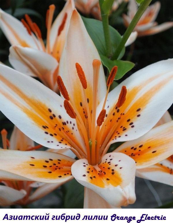 Азиатский гибрид лилии Orange Electric