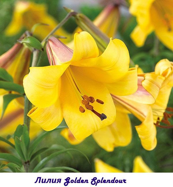 Лилия Golden Splendour