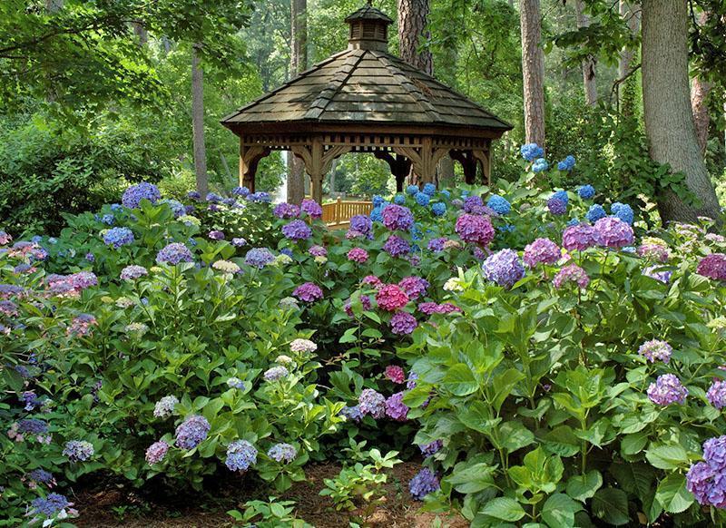 разновидности гортензии в саду