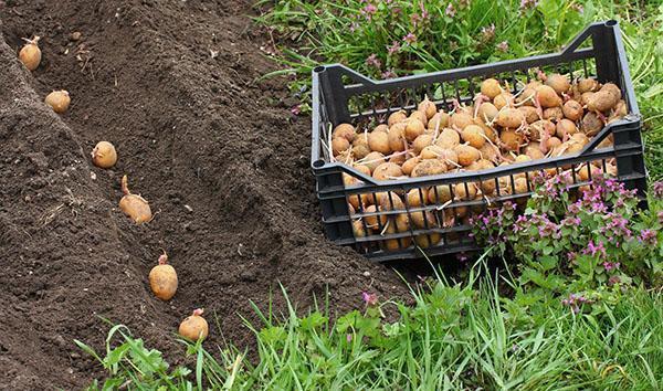 посадка картофеля сорта Гала