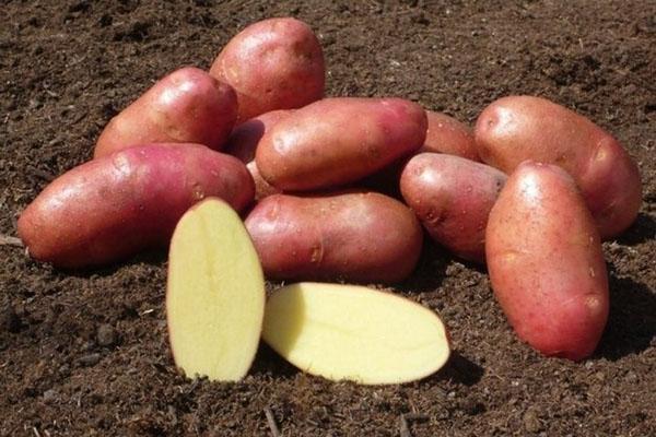 клубни картофеля хорошего качества