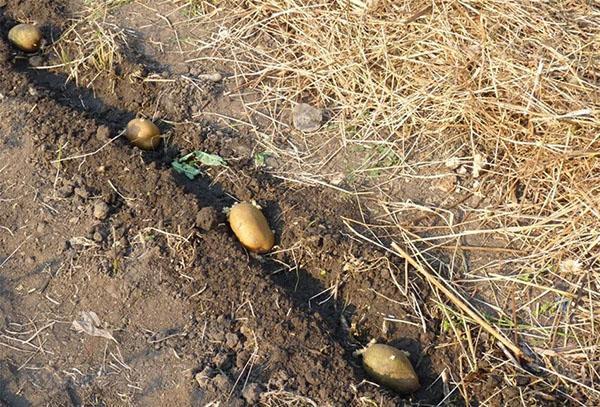 посадка картофеля сорта удача