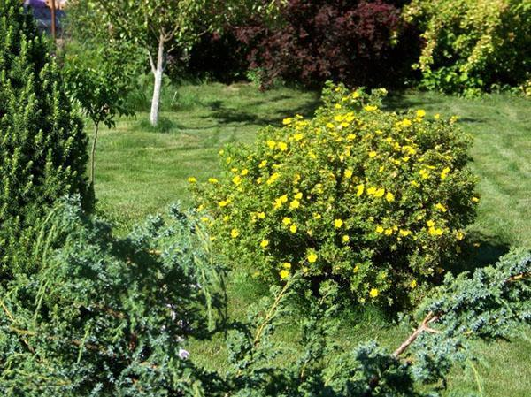 лапчатка кустарниковая в естественной среде