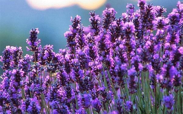 пышное цветение лаванды