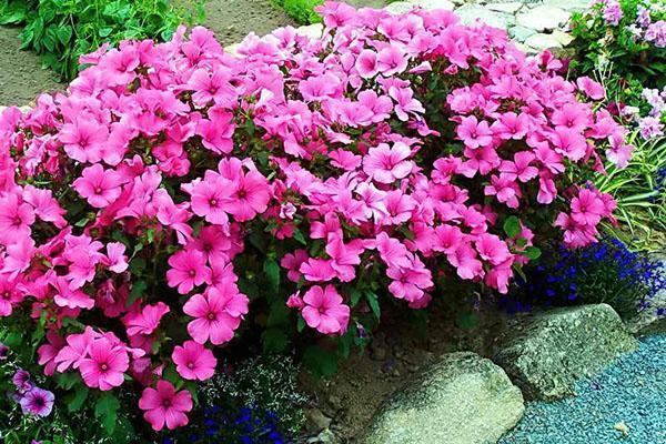 цветет лаватера на клумбе
