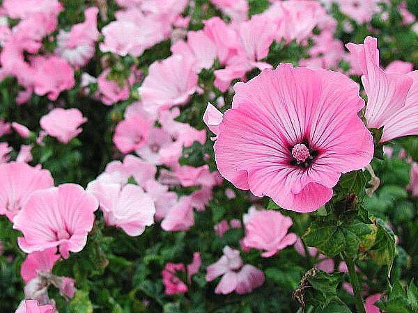 нежные воронкообразные цветы лаватеры