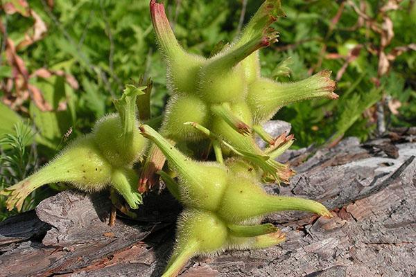 Орехи Corylus mandshurica