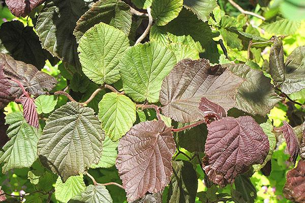 Листья лещины обыкновенной сорта Red Majestic