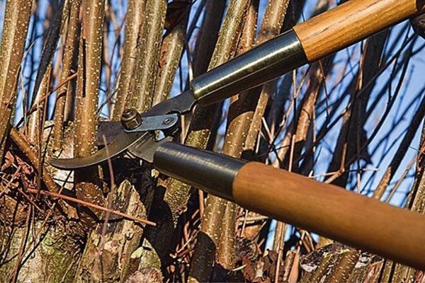 обрезка лещины лесной
