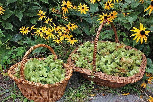сбор урожая у себя в саду