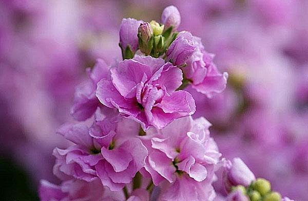 нежный ароматный цветок