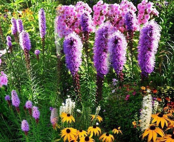 лиатрис колосковый в саду