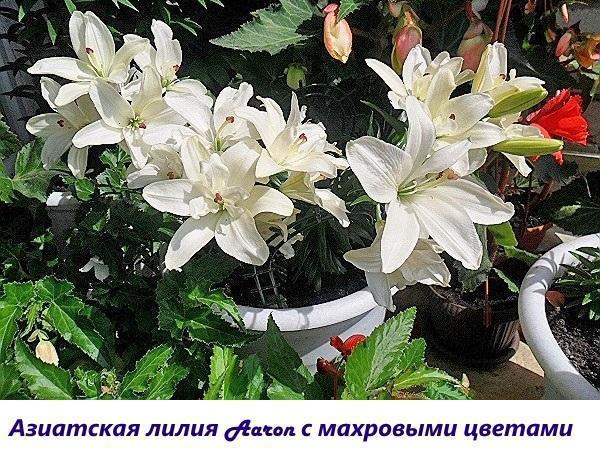 Азиатская лилия Aaron с махровыми цветками