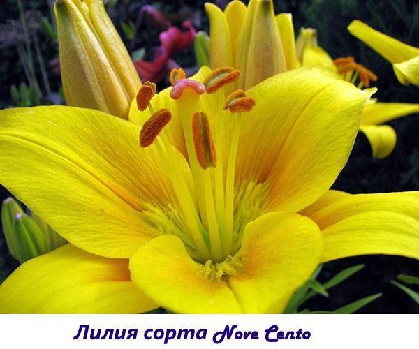 Лилия сорта Nove cento