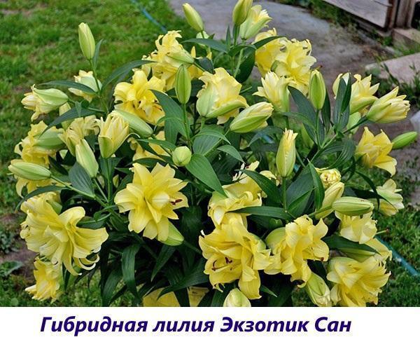Гибридная лилия Экзотик Сан