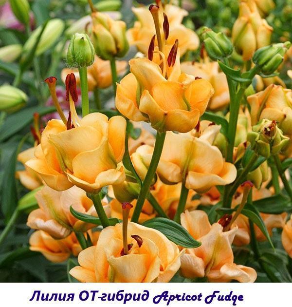Лилия ОТ-гибрид Apricot Fudge