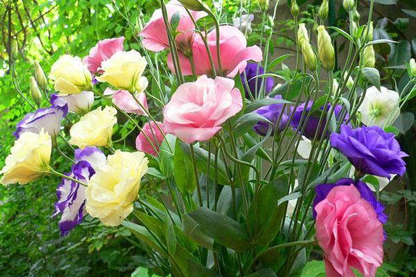 выращенный в саду лизиантус