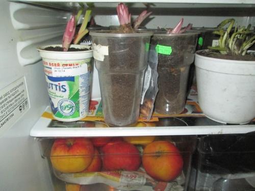 луковицы в холодильнике
