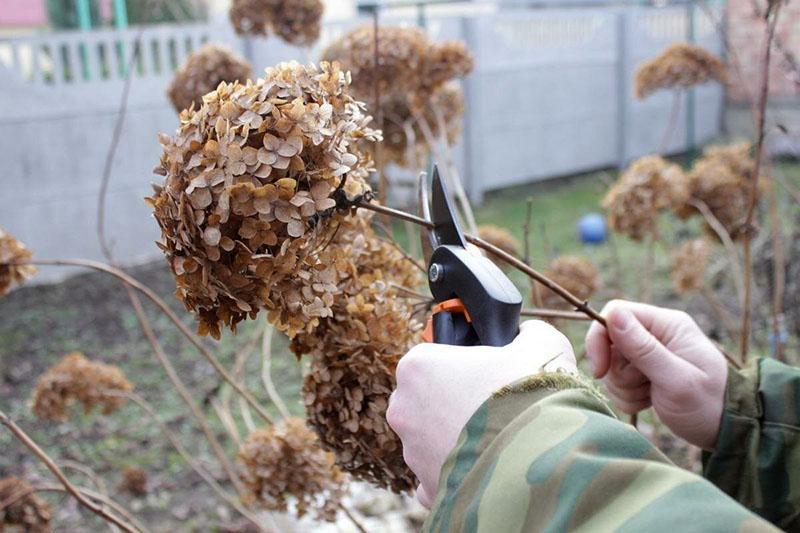 обрезка гортензии удаление сухоцвета