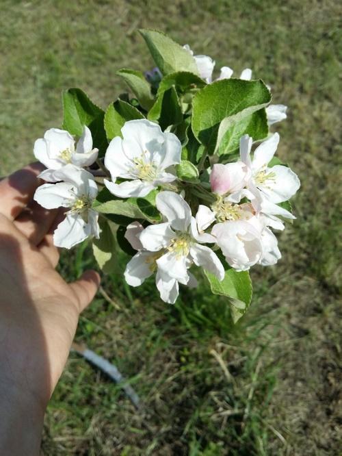 первое цветение
