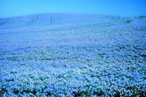 поле льна