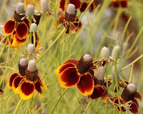 выращенная из семян ратибида колоновидная
