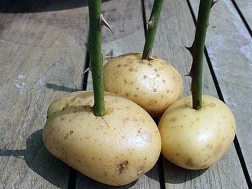 укоренение в картошке