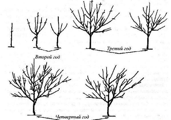 этапы формировки кроны