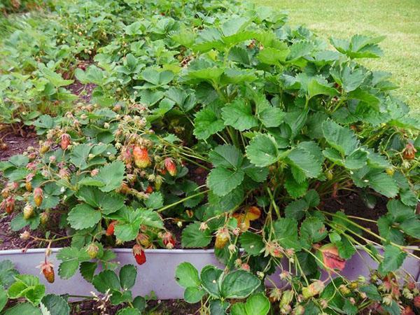 высокоурожайный сорт земляники