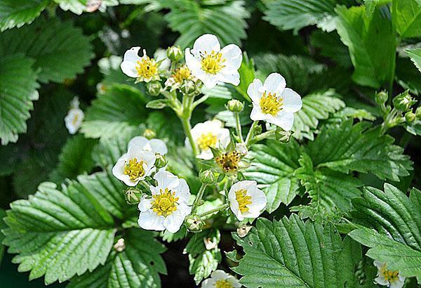 непрерывное цветение земляники Любаша