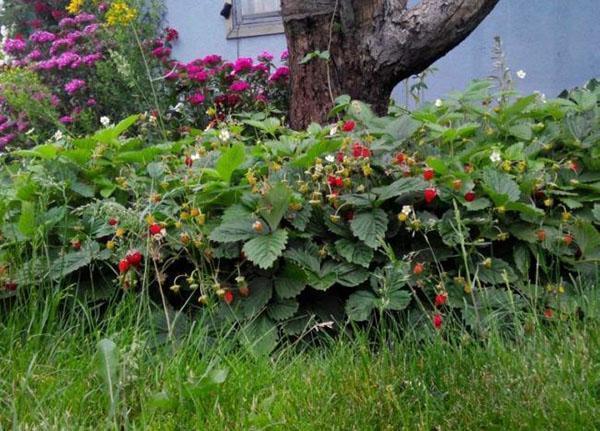 земляника Рюген в саду