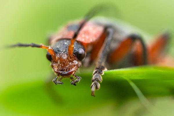 среда обитания жука пожарника