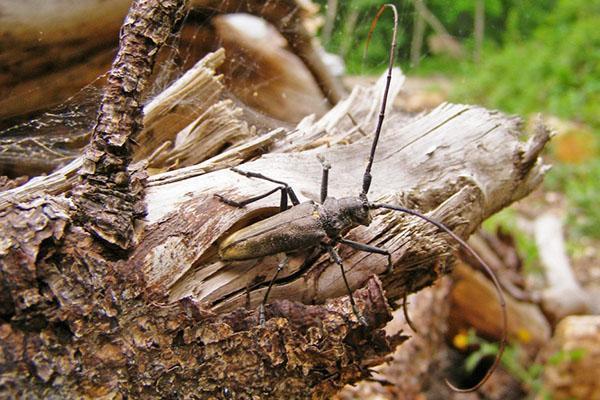 жук усач в дикой природе