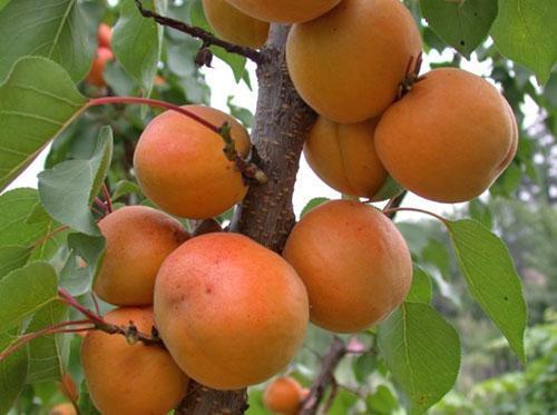 внешний вид колоновидного абрикоса