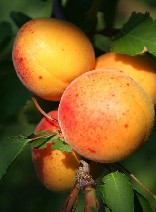 плодоношение абрикоса колоновидного