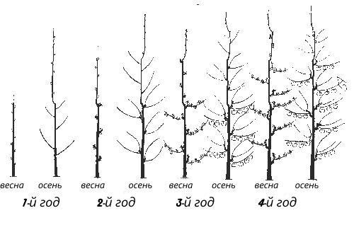 обрезка колоновидных деревьев