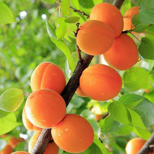урожай абрикоса колоновидного