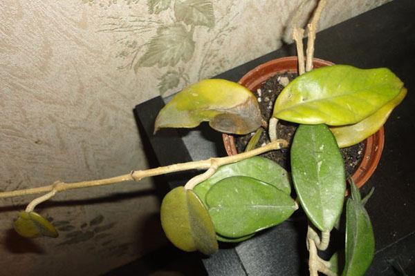 желтеют листья хойи