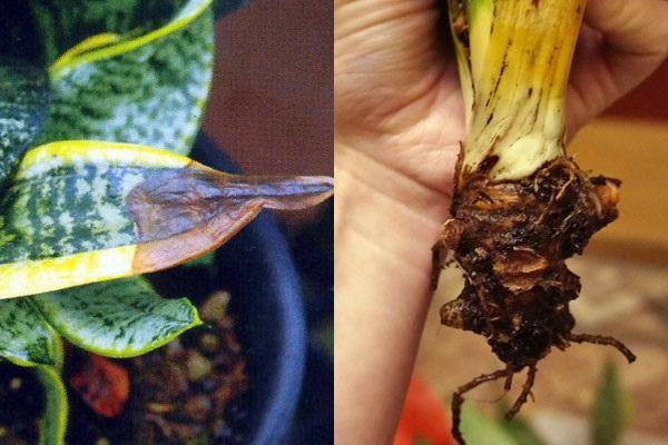 листовая и корневая гниль