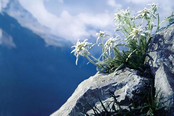 горный цветок эдельвейс