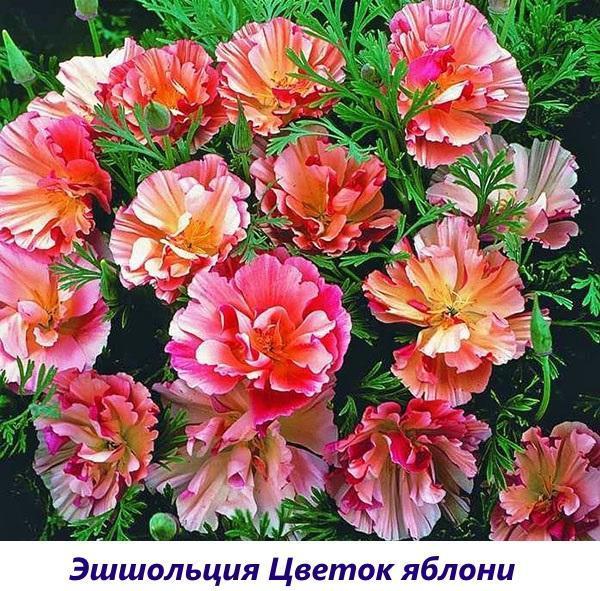 Эшшольция Цветок яблони