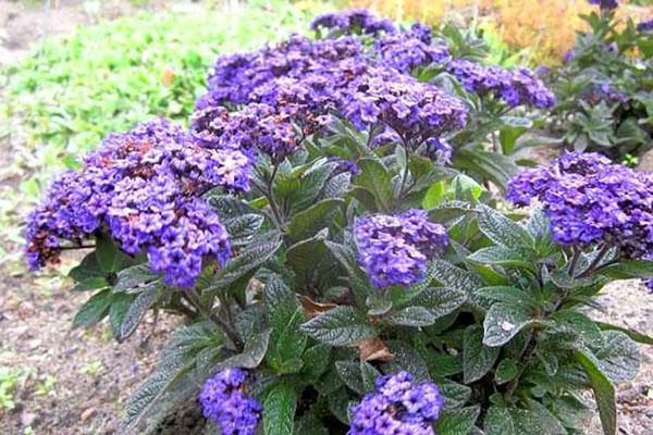 чудесные цветы гелиотропа