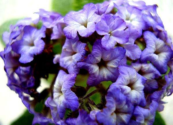 пышное соцветие
